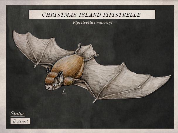 Christmas Island Pipistrelle