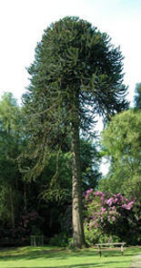 a view of our magnificent monkey puzzle tree