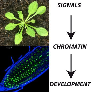 Unraveling chromatin dynamics during development