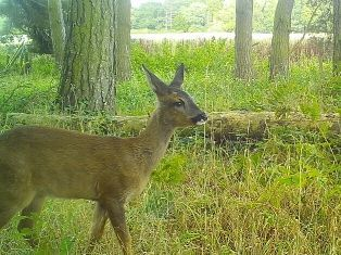 A roe deer captured on camera by a MammalWeb motion-sensing camera