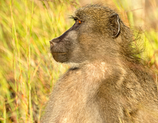Exploring why some primates have bigger brains