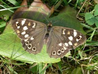 Speckled wood environment