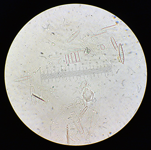 Diatoms found in saltmarsh sediments from Greenland