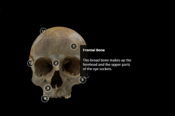 Skull with annotations - 3D model
