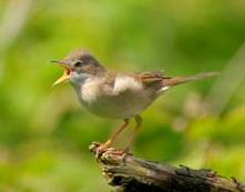 Common whitethroat Sylvia communis: copyright RSPB images