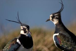 Lapwings: Jodie Randall (RSPB-images.com)