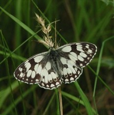 Marbled white (Jim Asher, Butterfly Conservation)