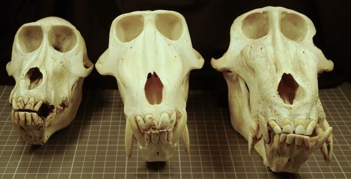 example of mandrill skulls of which the dentition will be used for histological assessment. Copyright Dr. Wendy Dirks, Newcastle University